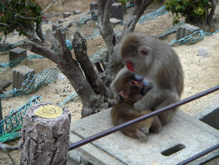 jud à Hiroshima - singe Miyajima Mont Misen